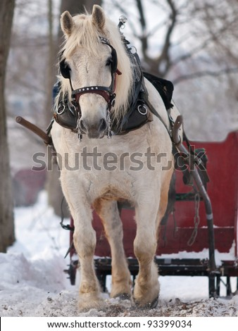 White horse pulling red sleigh in winter - stock photo