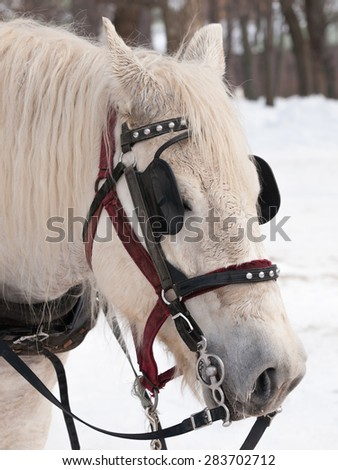 White horse ready for sleigh ride close-up - stock photo