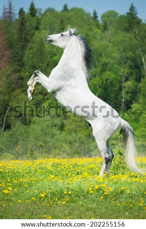 White horse rearing up - stock photo