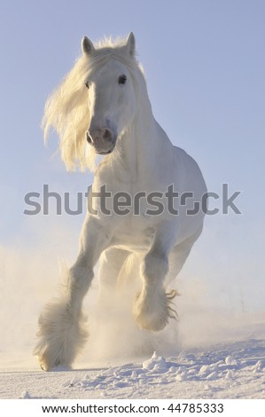 white horse run gallop in winter - stock photo