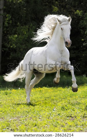 white horse run gallop on meadow near forest - stock photo