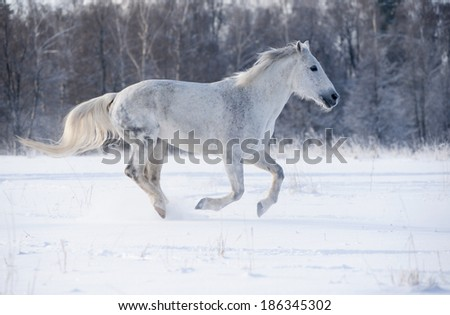 white horse running in winter in meadow