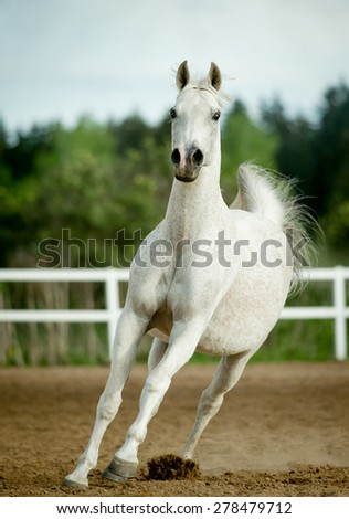 white horse runs forward in summer paddock - stock photo