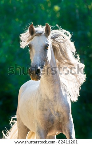 White horse runs gallop front in dark, Andalusian - stock photo