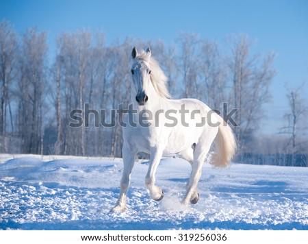 white horse runs in sunny winter day - stock photo