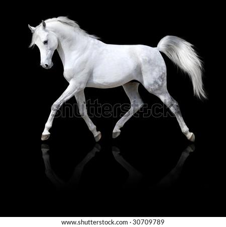 white horse runs isolated on black background - stock photo