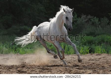 white horse stallion run gallop in dust - stock photo