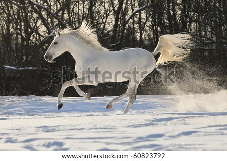 white horse stallion run gallop in winter - stock photo