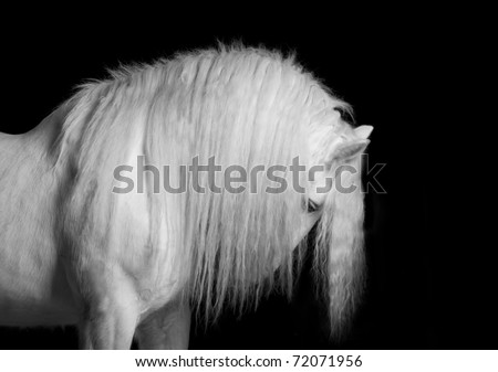 white horse studio shot - stock photo