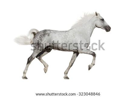 White horse trotting on white background - stock photo