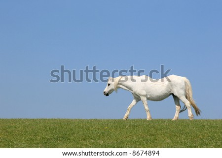White horse walking in a field against a clear blue sky. - stock photo