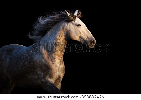 White horse with long mane run at sunset light on black background - stock photo