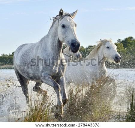 White horses of Camargue running through water  - stock photo