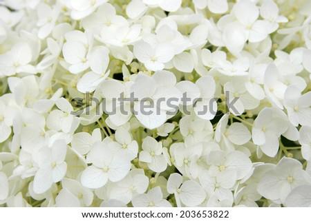 White hortensia - stock photo