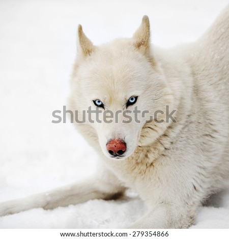 White huskey close up winter photo - stock photo