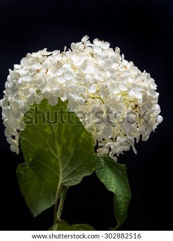 White Hydrangea Arborescens Annabelle flower on black background - stock photo