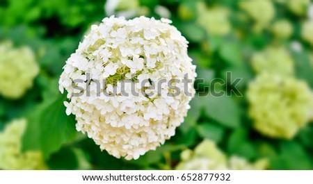 white hydrangea flower - White Hydrangea