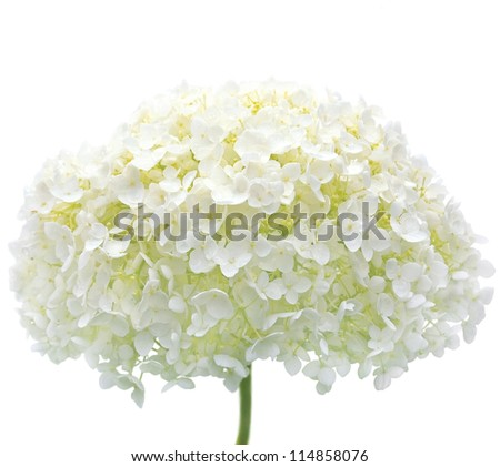 White Hydrangea Flower Blooms Isolated Macro Closeup, Mophead Annabelle H. Arborescens, Tree Hortensie Hortense Hortensia Anabelle Cold Hardy Shrub Rain Water Dew Drops, Raindrops, Waterdrops Dewdrops - stock photo