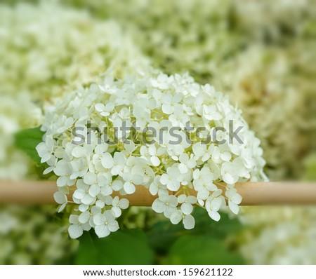 White hydrangea flowers on village fence shallow DOF closeup image - stock photo