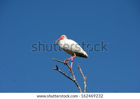 White Ibis Bird Standing on Tree Branch Against Cloudless Blue Sky - stock photo
