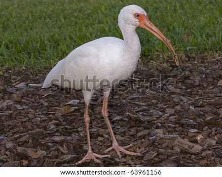 White Ibis close range - stock photo