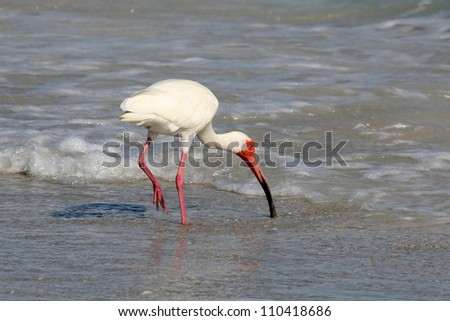 White Ibis (Eudocimus albus) Feeding in the Surf on Sanibel Island in Florida - stock photo