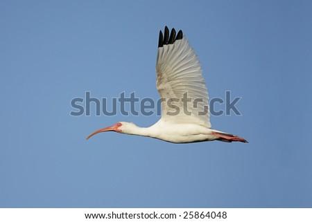 White Ibis (Eudocimus albus) flying over the Florida Everglades - stock photo