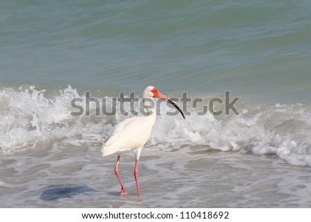 White Ibis (Eudocimus albus) in the Surf on Sanibel Island in Florida - stock photo