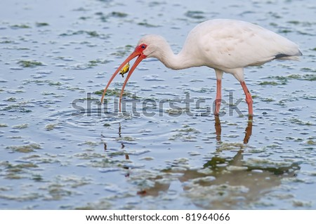 white ibis tries to eat baby turtle for breakfast in florida wetland pond - stock photo