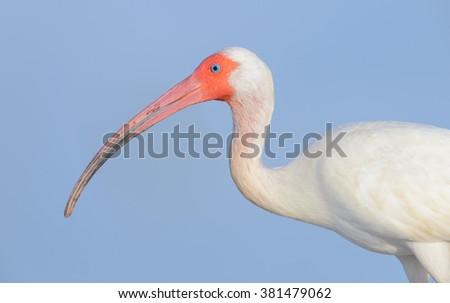 White Ibis Up Close - Blue Background - stock photo