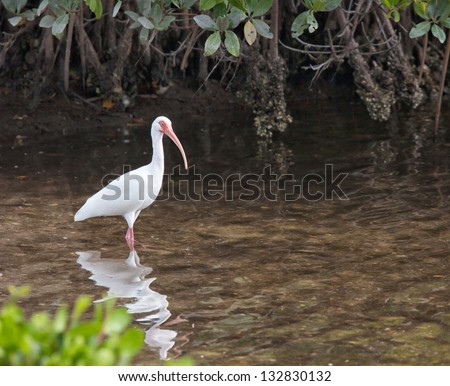 White ibis wading in the shallow waters.  Ding Darling Wildlife Preserve, Sanibel, Florida - stock photo