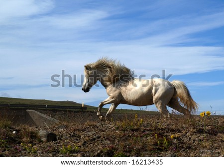 White Icelandic horse running by the road - stock photo