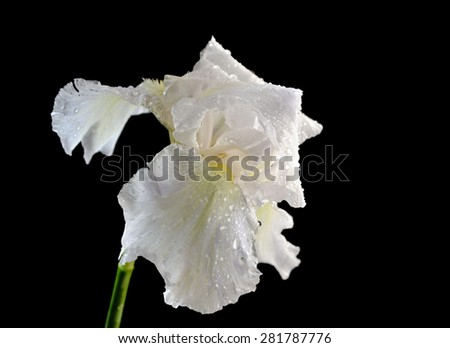 White iris flower with dew drops