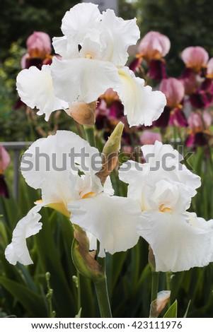 White irises in the spring. Seasonal flower, iris flower in the garden.  Green scenery outdoor, fresh beautiful flowers. - stock photo