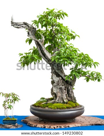 White isolated cornel cherry (Cornus mas) as asian art of a bonsai tree - stock photo