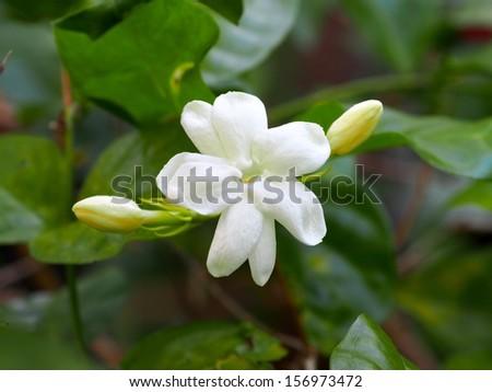 White Jasmine Flower - stock photo