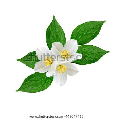 White jasmine flower.  branch of jasmine flowers isolated on white background. spring flowers - stock photo