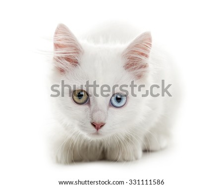White kitten lying in front of a white background