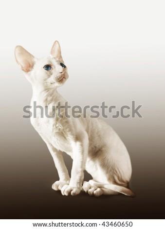White kitten of cornish-rex - stock photo