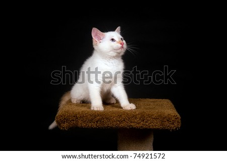 White kitten sitting on high perch with black background