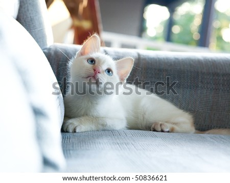 white kitten with blue eyes on couch - stock photo
