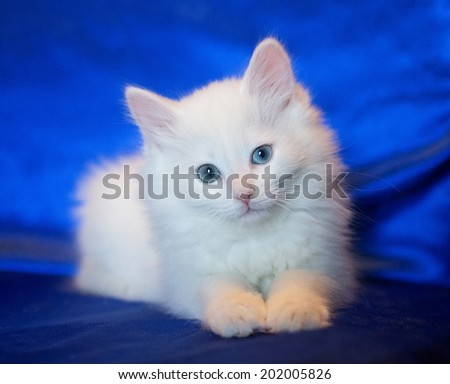 White kitten with eyes of different colors on a blue background - stock photo