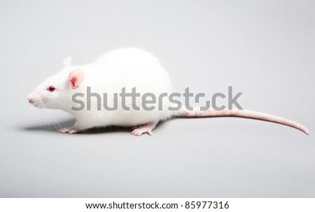 white laboratory rat isolated on grey background - stock photo