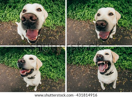 White Labrador dog on a walk with different emotions. The good and the angry dog. - stock photo