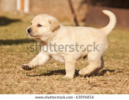 White Labrador puppy runs on grass  in sunshine - stock photo