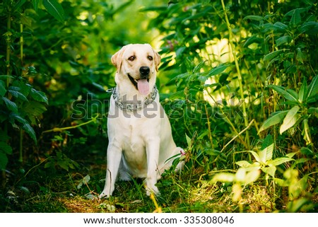 White Labrador Retriever Dog Sitting In Green Grass, Forest Park Background. - stock photo