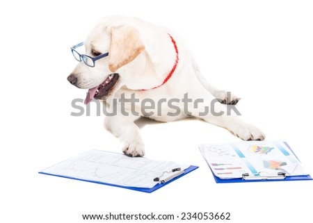 White labrador with glasses and working documents on white background. - stock photo