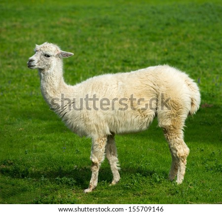 White lama on a meadow - stock photo