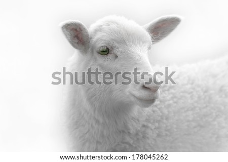 White lamb looking to the side - stock photo