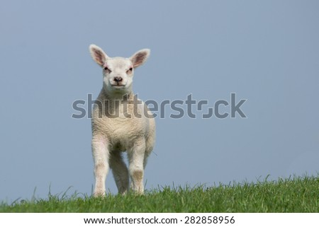 White lamb standing  on green dike with clear blue sky, facing the camera  - stock photo